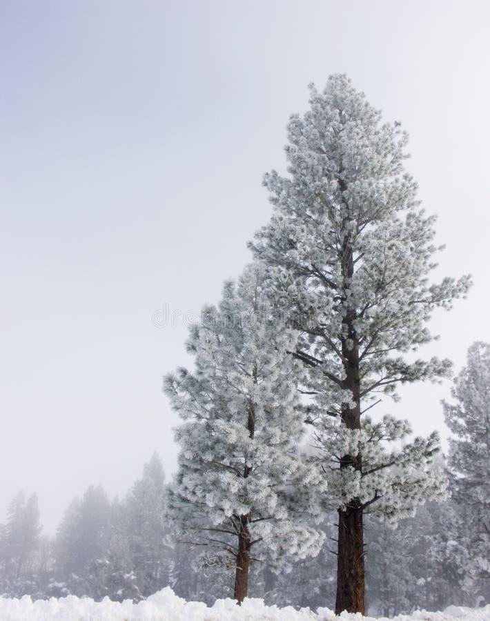 Pinos en la nieve imagenes de archivo