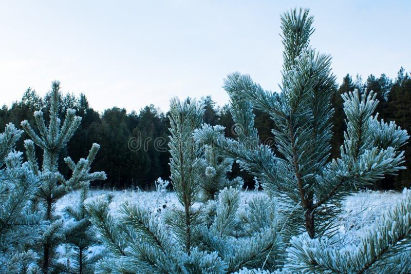 Pinos jovenes en invierno en helada imagen de archivo