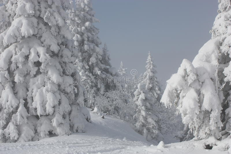 Pinos Nevado imagenes de archivo