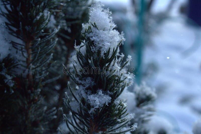 Pinos nevados espinosos en un día de invierno frío foto de archivo libre de regalías