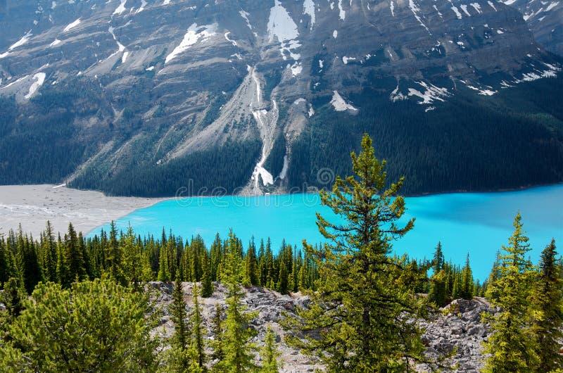 Pinos y agua de la turquesa de un lago Peyto de la montaña imagen de archivo