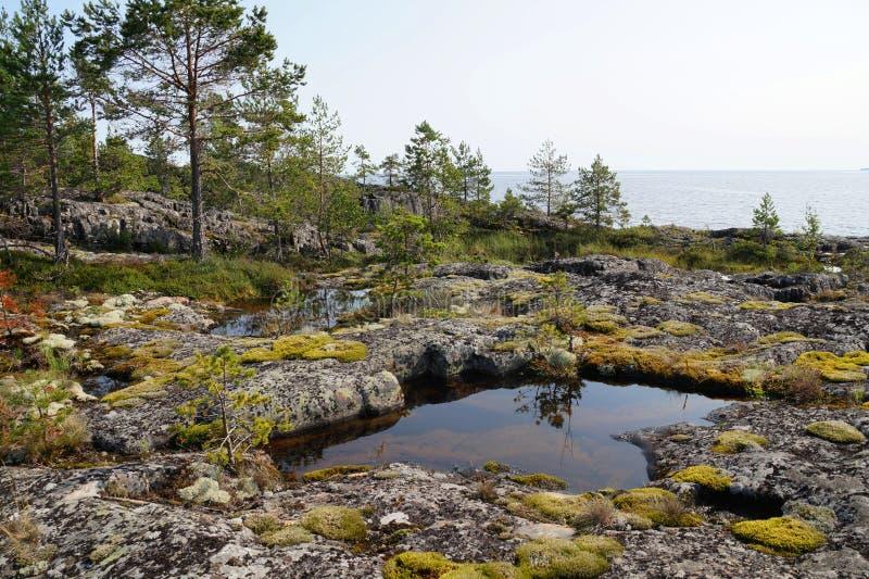 Pinos y musgo amarillo en la orilla rocosa del lago en un día soleado claro de verano tardío con acumulaciones de agua entre el r foto de archivo