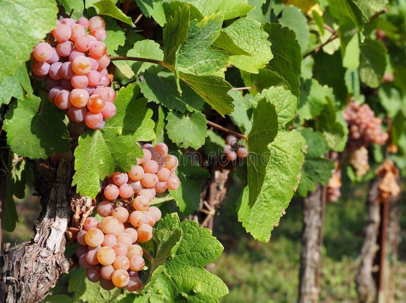 Pinot gris-druiven van bruinachtige roze variëteit, die enkele dagen voor de oogst aan de wijnstok hangen stock foto