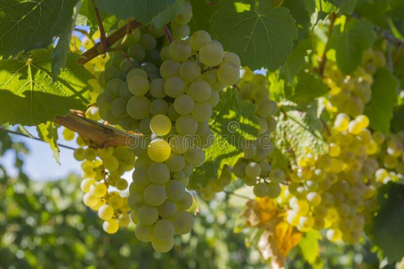 Pinot Gris Grapes in Wijngaard Okanagan Kelowna Brits Colombia Canada stock afbeeldingen