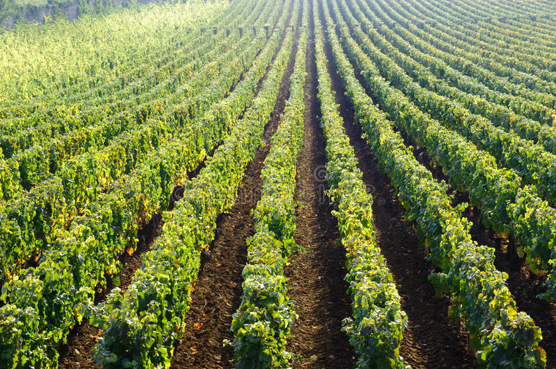 Pinot noir vineyard beaune cote de beaune burgundy france. Vineyard in Burgundy near Beaune, France, Europe stock image