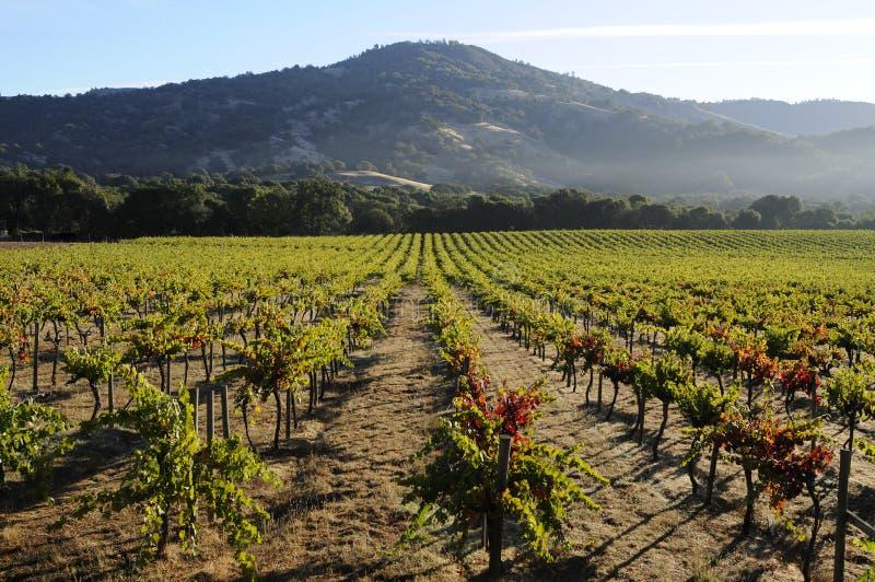 Download Pinot Noir Vineyard, California Stock Image - Image: 8030077