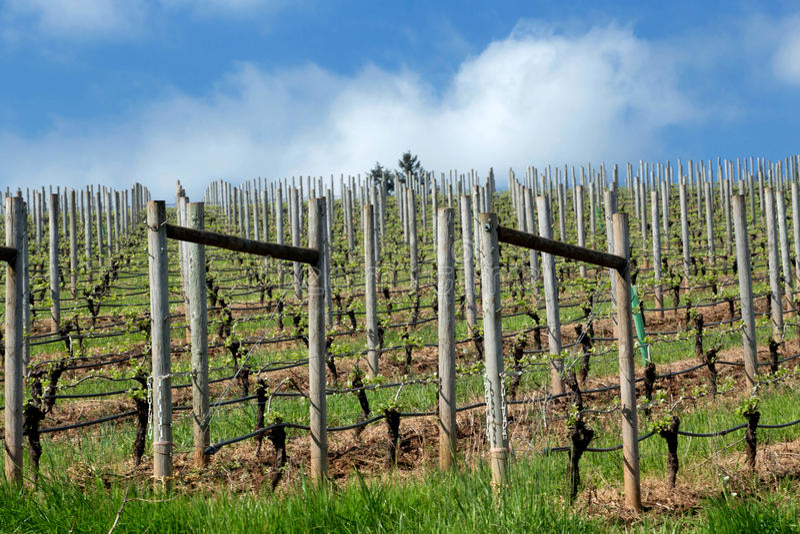 Pinot Noir Vineyards, Oregon. Photo of Pinot Vineyards in Oregon's Willamette Valley stock photo