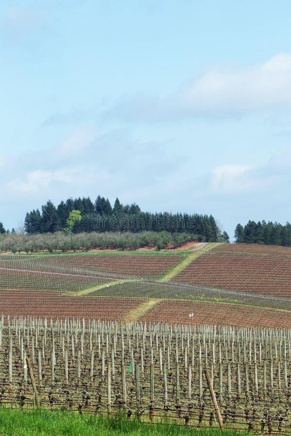 Pinot Noir Vineyards, Oregon. Photo of Pinot Vineyards in Oregon's Willamette Valley stock images