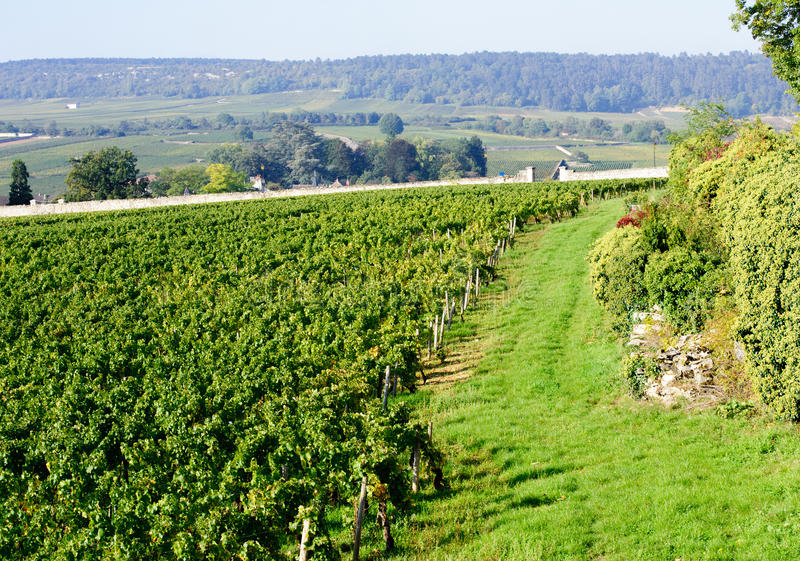 Pinot noir vingård beaune Cote de Beaune burgundy Frankrike royaltyfria bilder