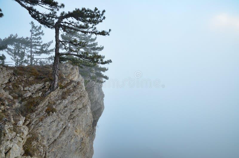 Pins au bord de la falaise en brouillard photo libre de droits