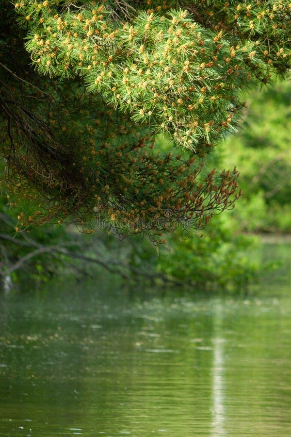 Pins au-dessus de l'étang image stock