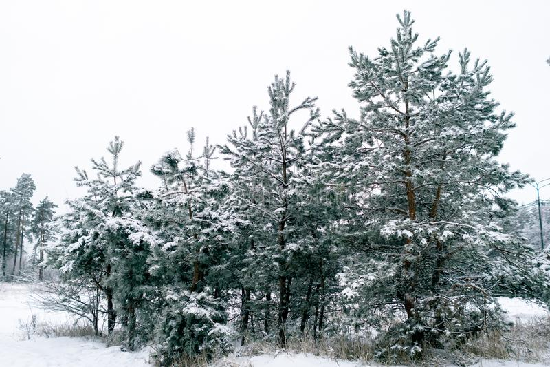Pins avec de longues aiguilles couvertes de neige un jour sombre d'hiver Le concept du froid, découragement, long hiver tonalit? photo libre de droits