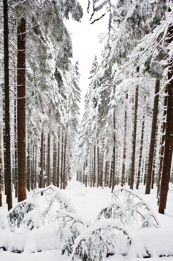 Pins couverts par la neige sur la montagne Chomiak Bel hiver photographie stock libre de droits