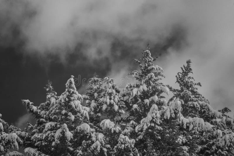 Pins couverts par neige en noir et blanc photos libres de droits