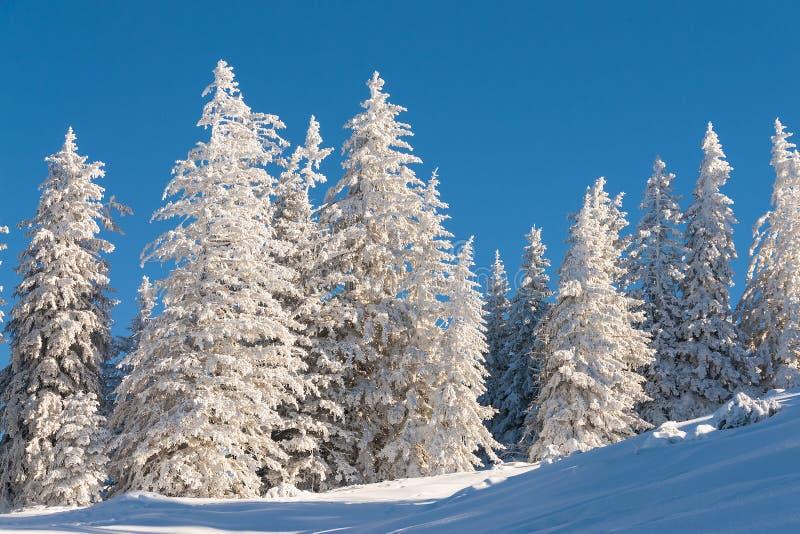 Pins dans la neige avec le ciel bleu image libre de droits