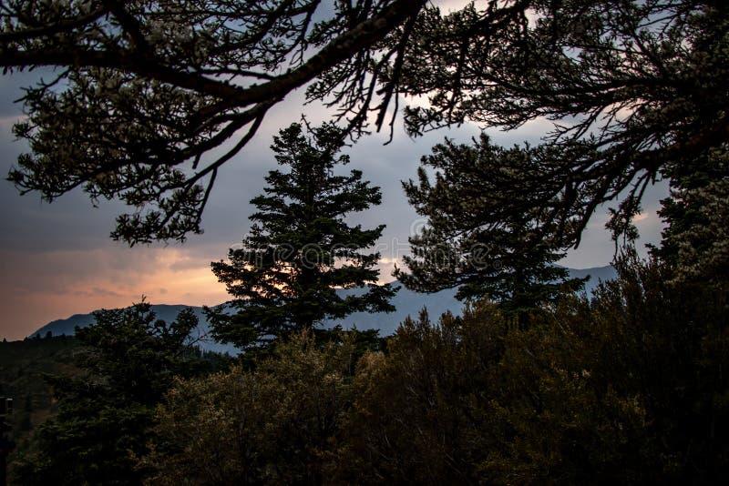 Pins dans le silhuette au crépuscule dans les montagnes de l'Utah images libres de droits