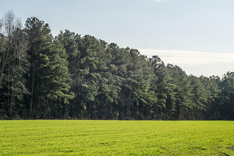 Pins dans un domaine herbeux vert photo libre de droits
