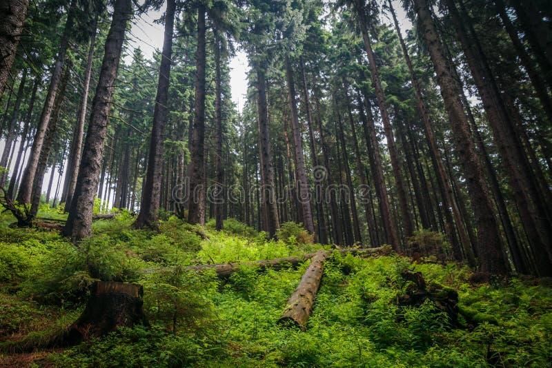 Pins dans une vieille et sauvage forêt européenne grande photos libres de droits