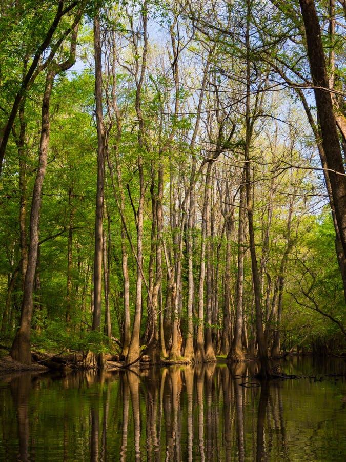 Pins de Cypress et de Loblolly s'élevant le long de la crique images stock