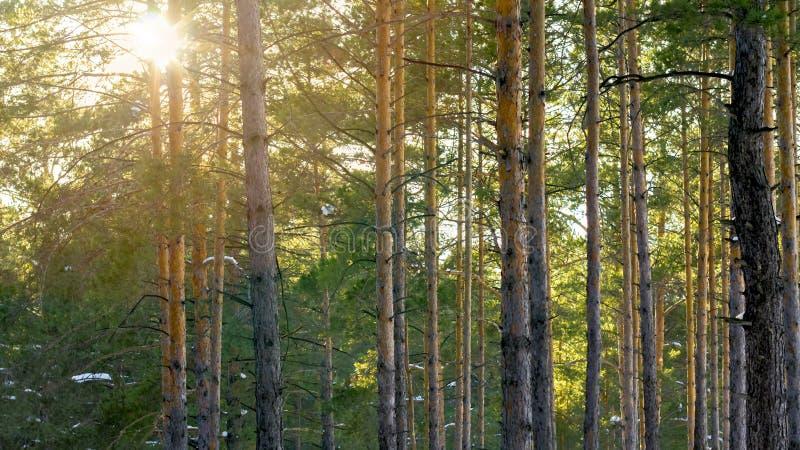 Pins de Forest With Sunbeams Through The d'hiver de Milou images libres de droits