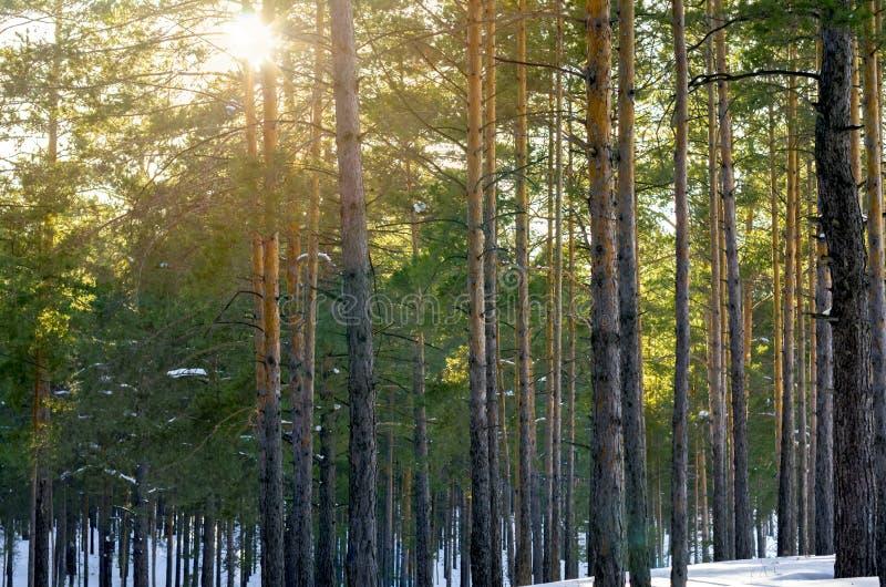 Pins de Forest With Sunbeams Through The d'hiver de Milou image libre de droits