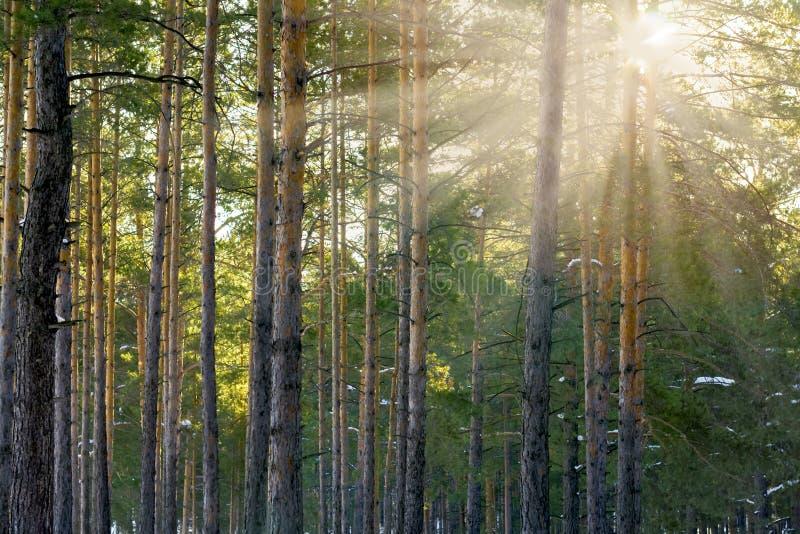 Pins de Forest With Sunbeams Through The d'hiver de Milou image stock