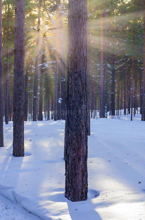 Pins de Forest With Sunbeams Through The d'hiver de Milou photos libres de droits
