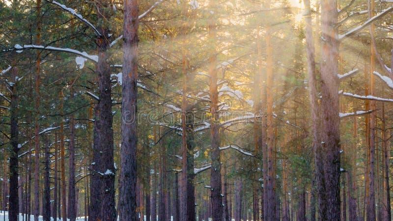 Pins de Forest With Sunbeams Through The d'hiver de Milou photographie stock