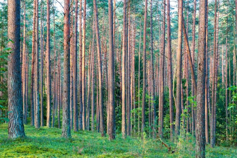 Download Pins droits image stock. Image du conifères, forêt, horizontal - 77158799