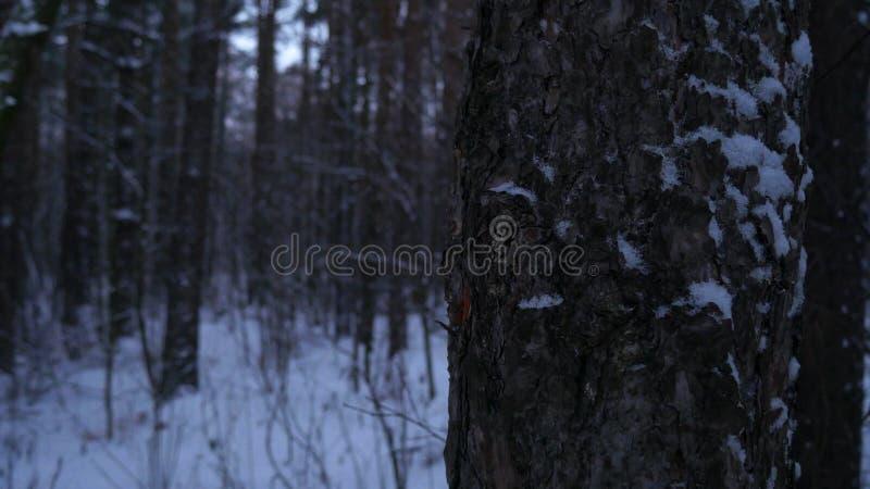 Pins en hiver, plan rapproché neigeux et froid de forêt avec la lumière naturelle photographie stock