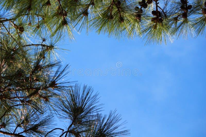 Pins encadrant le ciel photos stock