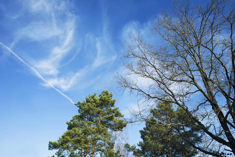 Pins et arbres et ciel bleu photo stock