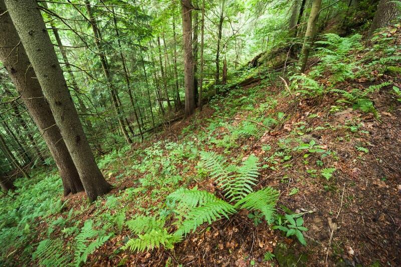 Pins et fougères s'élevant dans la forêt des montagnes profonde carpathienne image stock