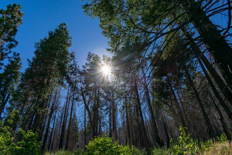 Pins et rayons de soleil partant furtivement  photographie stock libre de droits