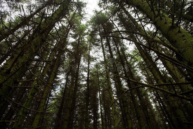 Pins grands dans Forest Location photos libres de droits