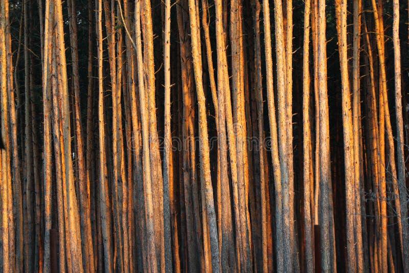 Pins grands dans une forêt photo libre de droits