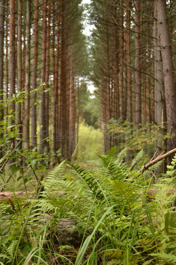 Pins grands de forêt de pin et feuilles vertes de fougère sur le chemin Sun Le concept d'un automne chaud Champignons de couche image stock
