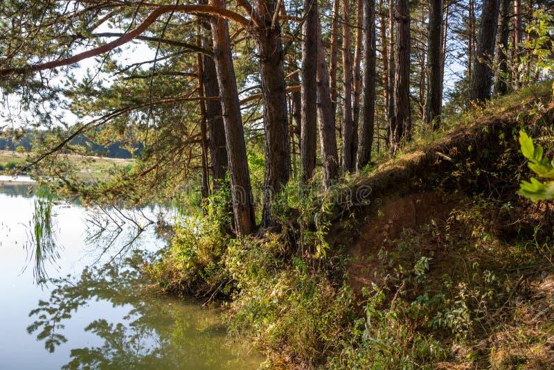 Pins sur le rivage de l'étang photographie stock libre de droits