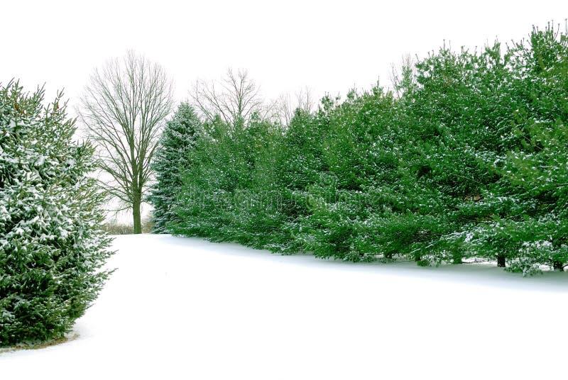 Pins toujours d'actualité dans la neige blanche de l'hiver photo stock