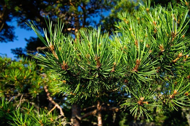 Pins verts photos stock