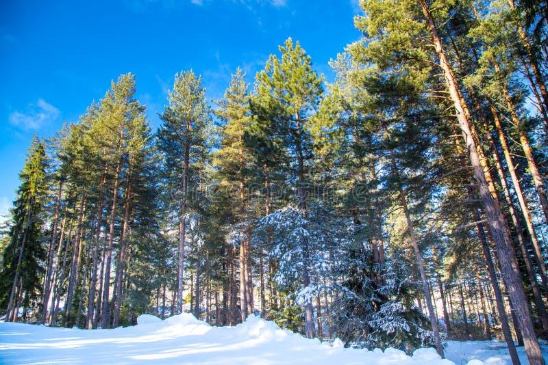 Pins verts contre le ciel bleu vibrant images stock