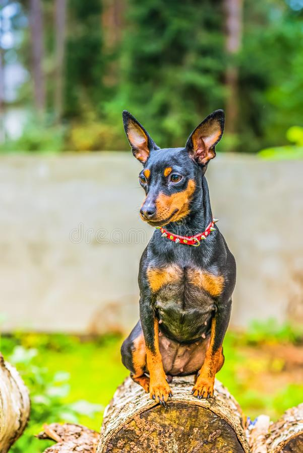Πορτρέτο ενός μικροσκοπικού σκυλιού pinscher στοκ εικόνα