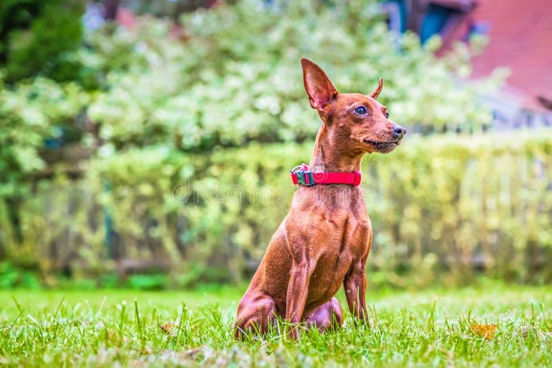 Πορτρέτο ενός κόκκινου μικροσκοπικού σκυλιού pinscher στοκ εικόνα με δικαίωμα ελεύθερης χρήσης