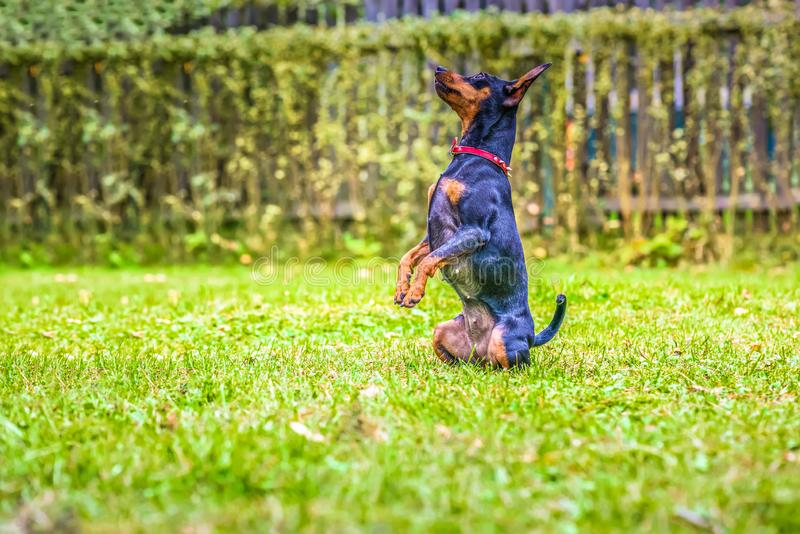 Πορτρέτο ενός κόκκινου μικροσκοπικού σκυλιού pinscher στοκ φωτογραφίες με δικαίωμα ελεύθερης χρήσης