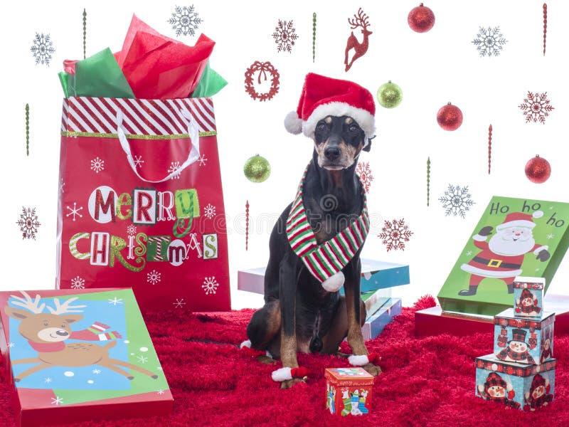 Pinscher allemand mignon modelant son thème de Noël photographie stock