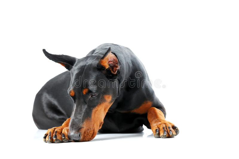 Pinscher de mentira del dobermann que parece triste fotografía de archivo