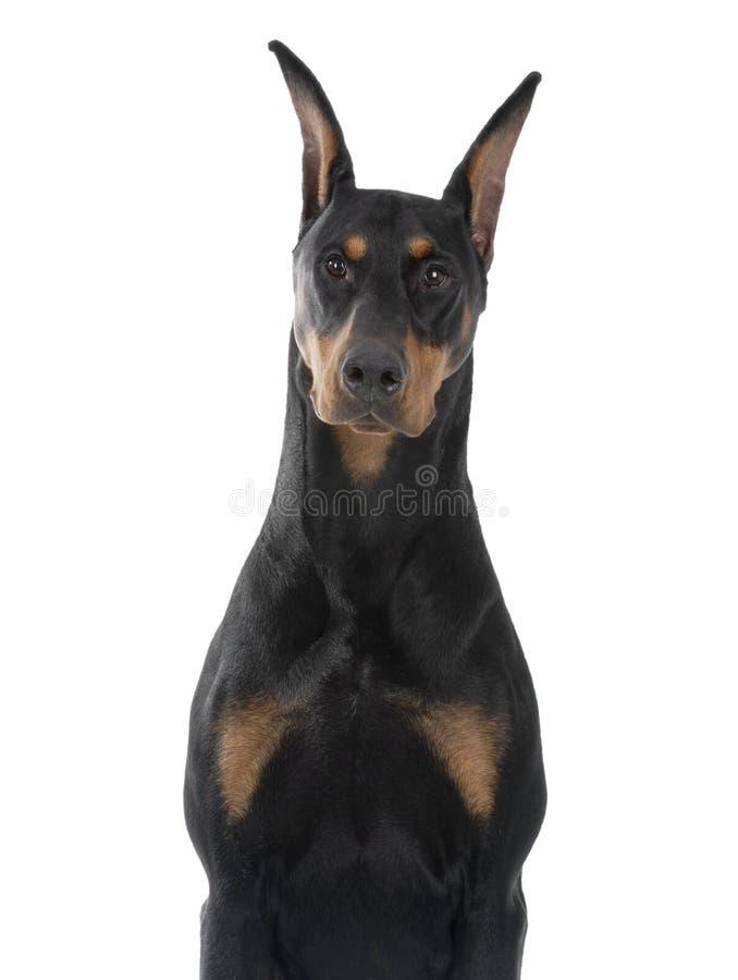 Pinscher del Doberman dell'animale domestico del cane immagine stock libera da diritti
