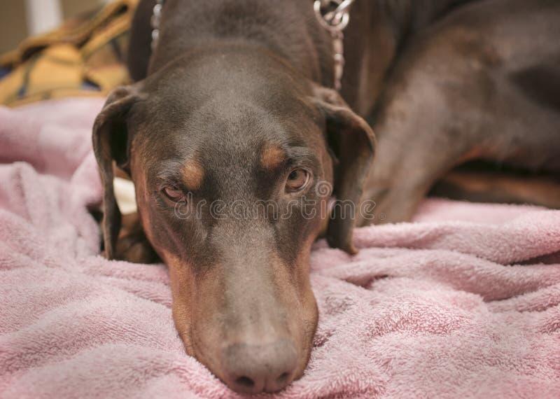 Pinscher del Doberman que pone en una cama del perro imagenes de archivo