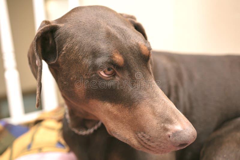 Pinscher del Doberman que pone en una cama del perro foto de archivo