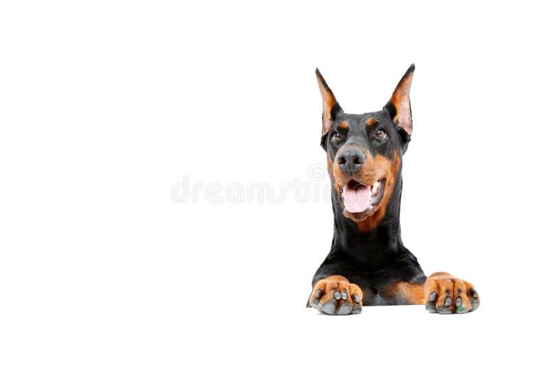 Pinscher di Dobermann che emerge da dietro immagini stock libere da diritti